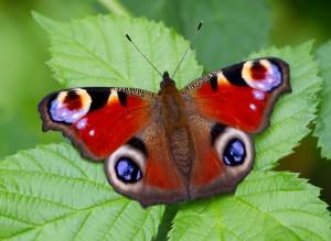 European Peacock Buterfly
