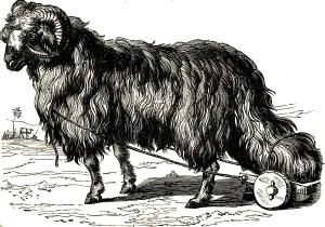Heavy Tail Sheep